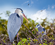 Herons Photos - Herons at Rest by Michelle Wiarda