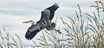 Wildlife Greeting Cards Posters Prints - Herons Flight Print by James Williamson