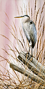 James Williamson Bird Prints Prints - Herons Watch Print by James Williamson