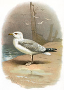 Bird Drawing Posters - Herring Gull, Historical Artwork Poster by Sheila Terry