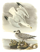 Shorebird Paintings - Herring Gull by John James Audubon