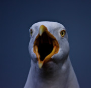 Gabor Pozsgai - Herring gull screaming