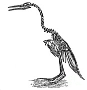 Aves Prints - Hesperornis Regalis Print by Science Source