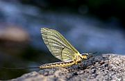 Mayfly Framed Prints - Hex 3 Framed Print by Thomas Young