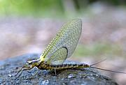Mayfly Framed Prints - Hex 7 Framed Print by Thomas Young