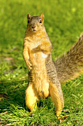 Fox Squirrel Art - Hey Buddy Have You Seen My Nuts by James Marvin Phelps