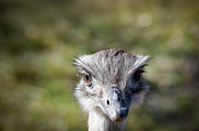 Ostrich Photos - Hey Guys by Devon Dyra