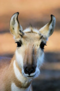 Pronghorn Photos - Hey You by Karol  Livote