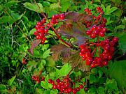 Hi Framed Prints - Hi Bush Cranberry close up Framed Print by Joanne Smoley