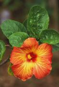 Outdoor Still Life Prints - Hibiscus Print by Allan Seiden - Printscapes