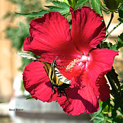 Stephen  Johnson - Hibiscus and Swallowtail