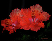 Satin Digital Art - Hibiscus Blooms Aglow by DigiArt Diaries by Vicky Browning