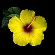 Hibiscus Blossom Print by Christian Slanec