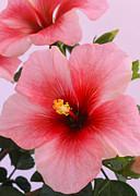 Colored Background Art - Hibiscus Flower Close-up In Shades Of Red And Pink by Rosemary Calvert