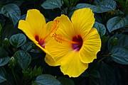 Byron Varvarigos - Hibiscus Happiness