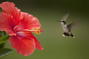 John Crothers - Hibiscus Hummingbird