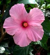 Rose Of Sharon Metal Prints - Hibiscus Metal Print by Mindy Newman