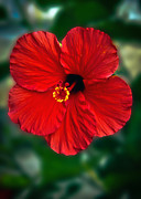Sorrel Prints - Hibiscus Print by Robert Bales