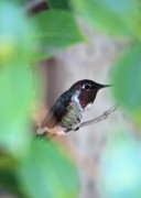 Hummingbird Photos - Hidden Jewel by Carol Groenen