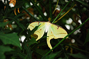 Luna Prints - Hidden Luna Moth Print by Andee Photography