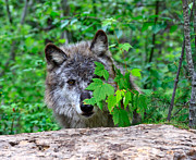 Wolf Photos - Hiding Behind the Leaves by Louise Heusinkveld