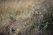 Cheetah Acrylic Prints - Hiding Cheetah Mother Acrylic Print by Darcy Michaelchuk