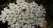 Queen Annes Lace Photos - Hiding in the Lace by Teresa Mucha