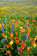 Carrizo Plain Prints - High Angle View Of Lupines And Poppies On A Landscape, Carrizo Plain National Monument, California, Usa Print by Purestock