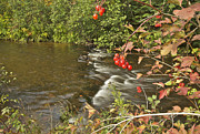 High Bush Cranberry 7823 Print by Michael Peychich