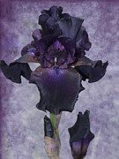 Purple Iris Prints - High Class Lady Print by Diane Schuster