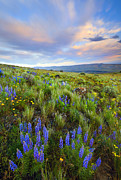 Lupine Framed Prints - High Desert Spring Framed Print by Mike  Dawson