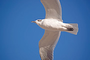 Flying Seagull Prints - High Flight Print by Kenneth Albin