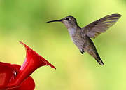 Hummingbird In Flight Posters - High Flyer Poster by Carol Groenen