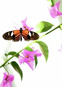 Animals In Gardens Posters - High Key Piano Key Butterfly Poster by Sabrina L Ryan