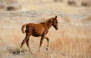Wild Horses Photo Prints - High Stepping Print by Mike  Dawson
