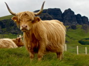 Skye Posters - Highland Bull Poster by Mike Mann