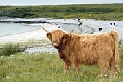 Kyloe Prints - Highland Cattle By The Sea Print by Duncan Shaw