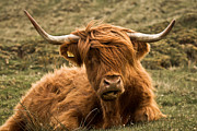 Highland Posters - Highland Cow Color Poster by Justin Albrecht