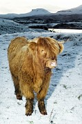 One Cow Posters - Highland Cow In Winter Poster by Duncan Shaw