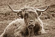 Sepia Metal Prints - Highland Cow  Metal Print by Justin Albrecht