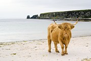 Kyloe Posters - Highland Cow On A Beach Poster by Duncan Shaw