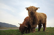 Scottish Art - Highland Cows by Grant Glendinning
