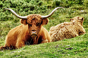 Coo Photos - Highland Cows by Jason Politte