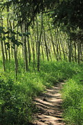 Alberta Prints - Hiking trail in aspen poplars Print by Jim Sauchyn