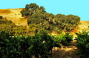 California Vineyard Prints - hill side vineyard n Oaks Print by Gary Brandes