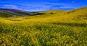 Canola Field Prints - Hills of Canola Print by David Patterson