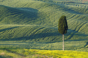 Italian Cypress Photo Acrylic Prints - Hilly Farmland With Lonely Cypress Tree Acrylic Print by Cornelia Doerr