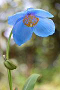 Blue Flowers Photos - Himalayan Blue Poppy Flower  by Jennie Marie Schell