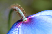 Blue Flowers Photos - Himalayan Blue Poppy Flower the Other Side by Jennie Marie Schell