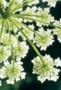 Plants Wildflowers Prints - Himalayan Hogweed Cowparsnip Print by American School